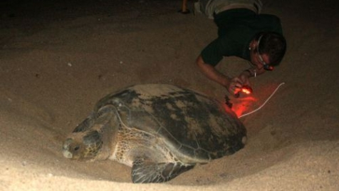 Placing a temperature logger into the nest of a Green Turtle. Daniel has worked with a great variety of marine animals.