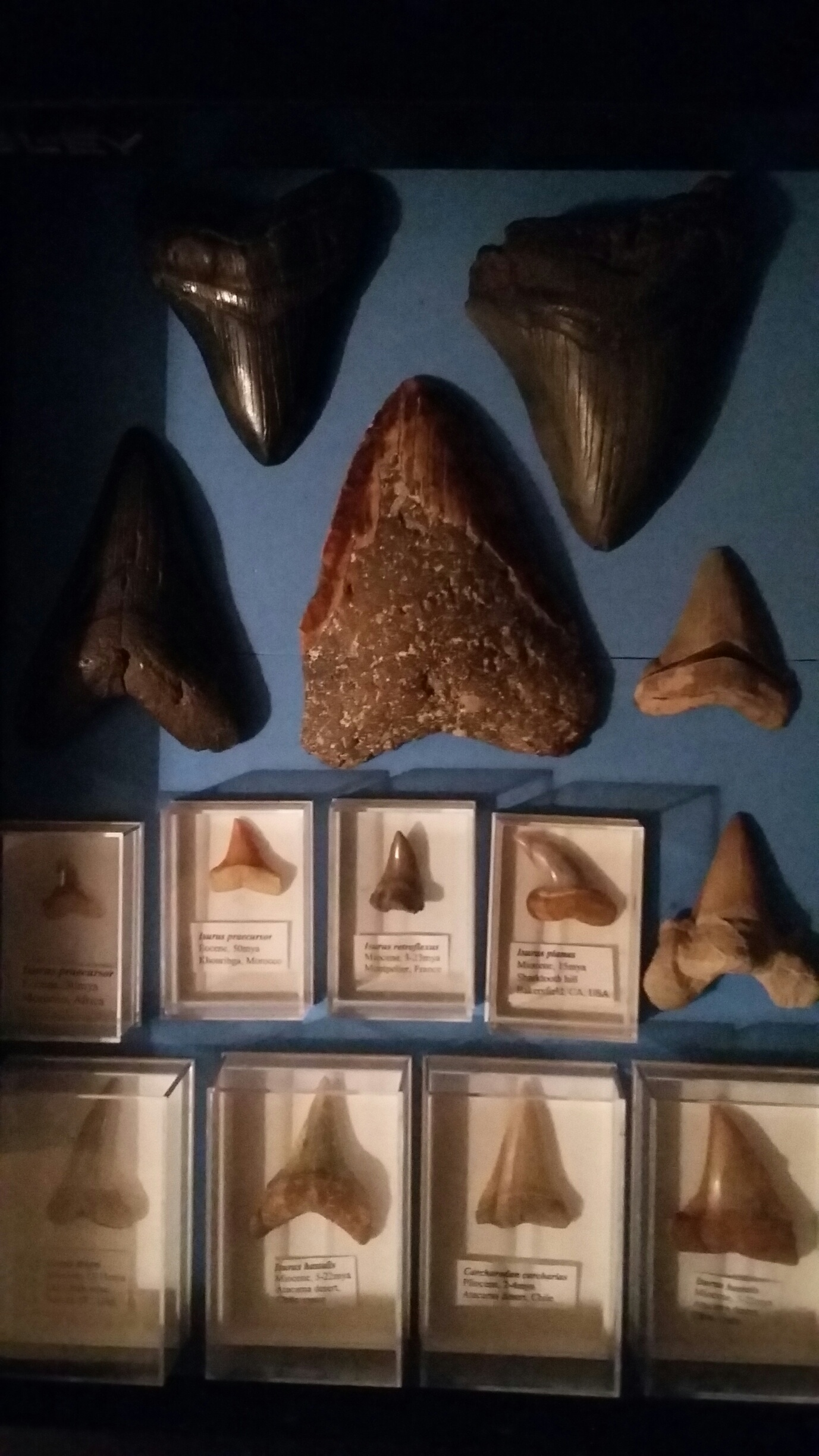 fossil shark teeth daniel m moore