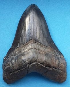 First inspired to study the sea by palaeobiology this remains one of Daniel's interests to date. This fossilized tooth comes from Carcharocles megalodon and remains in Daniel's personal collection.