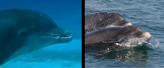 Dolphin rostrum comparison