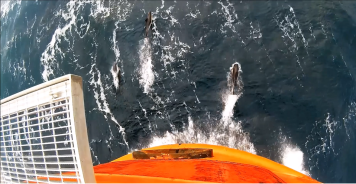 Common dolphins bowriding in the English Channel