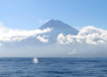 Sperm Whales in front of Pico - the highest mountain in Portugal. © Daniel Moore